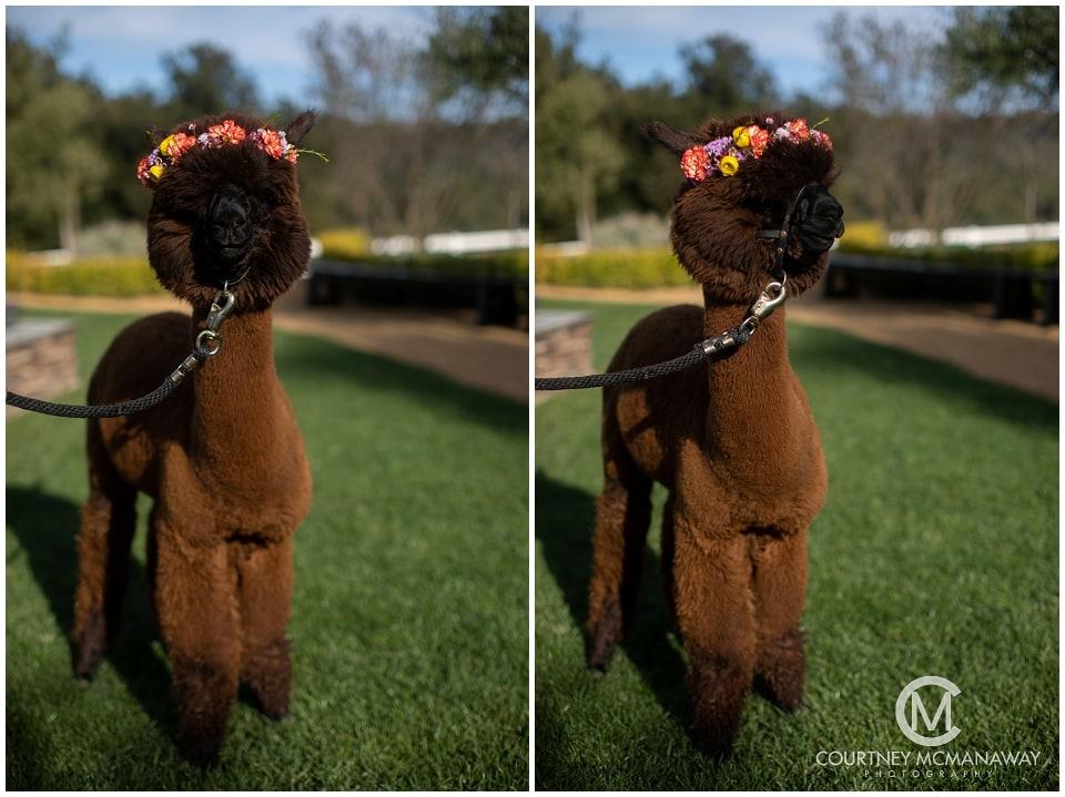 alpaca-wedding